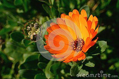 Marigold flower closing its petals at sunset