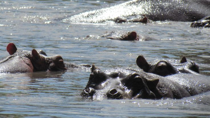 The animal that causes most deaths in Africa- Hippopotamus