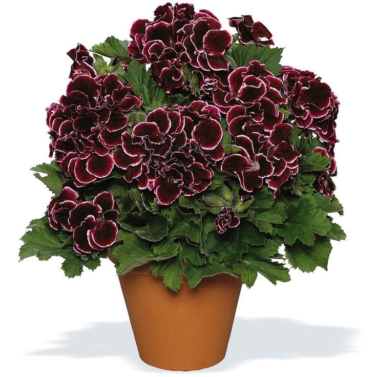 Geranium 'Aristo Beauty' (Aristocratic)  Pelargonium (Regal Pelargonium)
