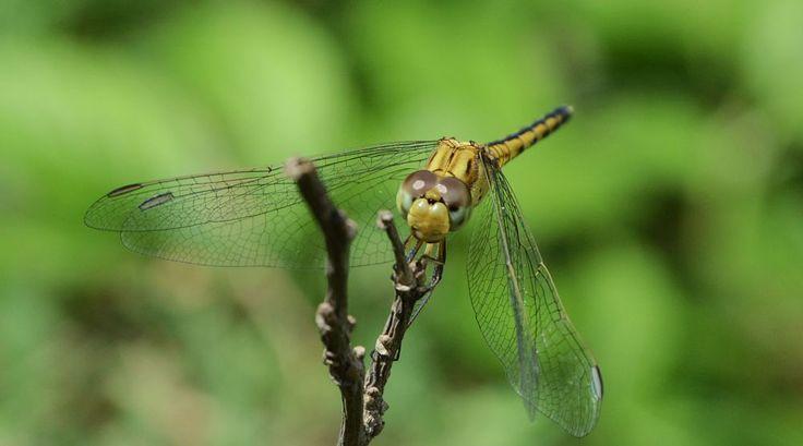 dragonfly by prabhuviswa