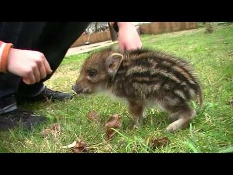 Un cinghialetto in casa! • A wild baby boar at home - YouTube  So sweet!