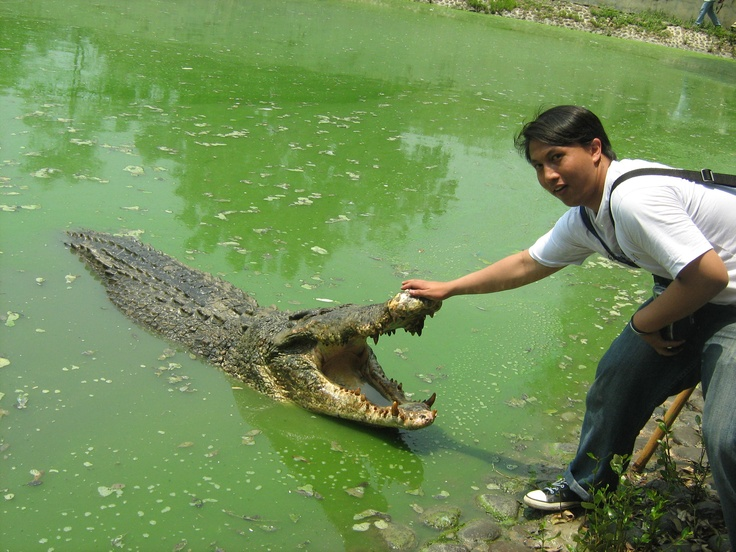 at breeding alligator Blanakan