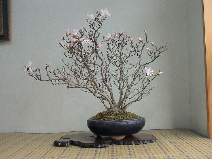 2008.卯月華風7  四手辛夷 シデコブシ : 《 盆草遊楽 》