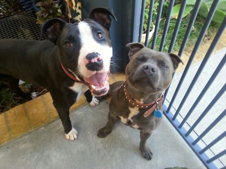 Storm English Staffordshire Bull Terrier And Foster Girl