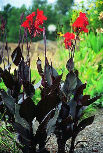 Canna Black Knight Canna Lily With Purple Tinted Dark