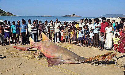 Tiburón sierra gigante