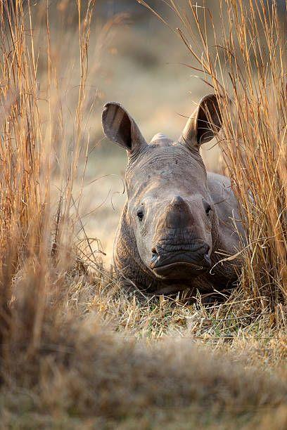 White Rhinoceros (Ceratotherium simum) calf, Rietvlei Nature Reserve, Gauteng, South Africa ©Richard du Toit