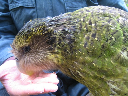 Cool Kakapo Parrot New Zealand images-Image by Department of Conservation  Sirocco gets a kakapo treat – a seedless green grape. Photo taken in Sirocco's enclosure on Ulva Island, October 2009.