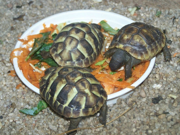 Photo of three Hermanns tortoises during a visit to the Monte Casino Bird Park.