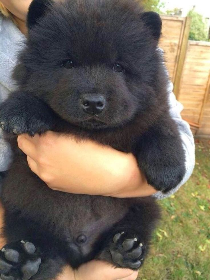 I love how chow-chow pups always look like little bears ^_^