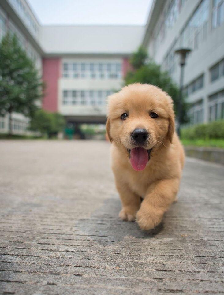 Golden Retriever Puppy Adorable Animal