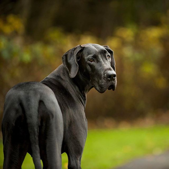 Standing as high as 32 inches at the shoulder, Great Danes tower over most other dogs—and when standing on their hind legs, they're taller than many people.