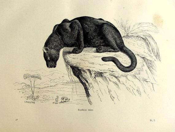 1860 curious vintage black panther print, antique feline engraving, original wild cat plate illustration, victorian engraving for frame