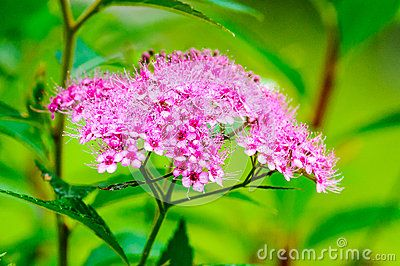 Pink Spiraea Bumalta Flower - Download From Over 25 Million High Quality Stock Photos, Images, Vectors. Sign up for FREE today. Image: 43142738