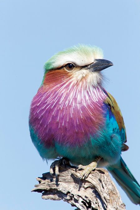 Lilic-breasted roller
