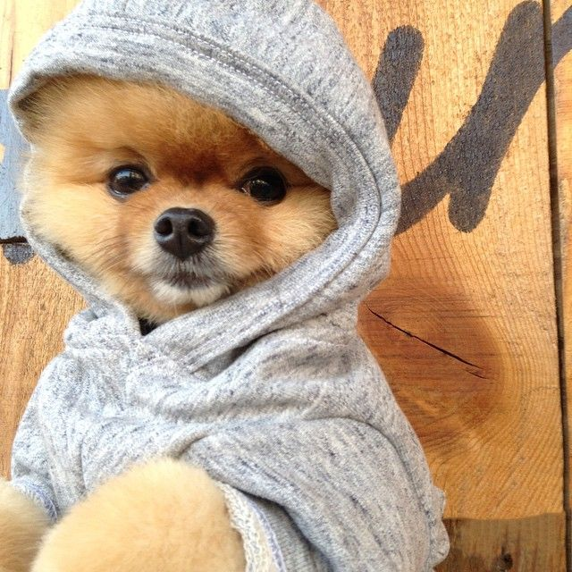 Best Jiff My Love Images On Pinterest Adorable Puppies - Jiff the pomeranian is easily the best dressed model on instagram