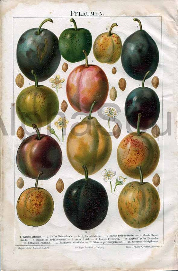 Colorful Fruit Plum Varieties Illustration Late by Beats925Books, $12.00