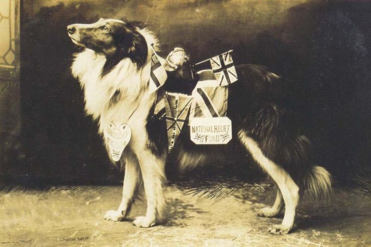 "WWI Collie War Dog: ""Bruce,"" the rough collie mascot of Moseley Road Fire Station, Birmingham, England, circa 1914. Libby Hall Collection/Bishopsgate Institute Archive"