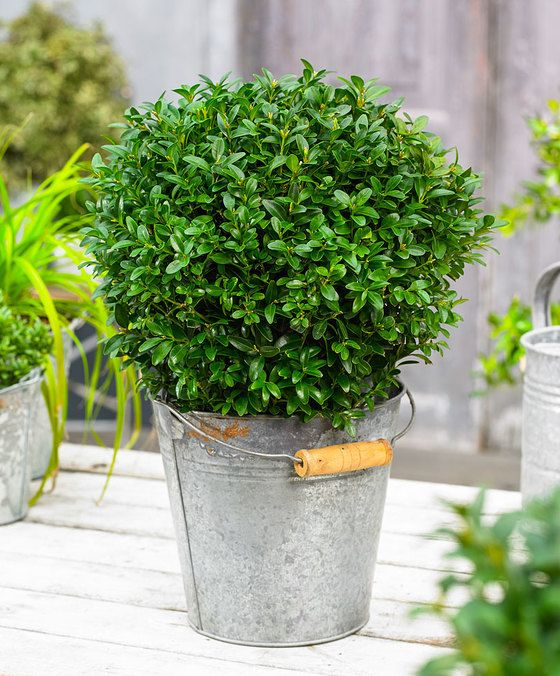 Topbuxus Buxus in bolvorm  De Buxus is een bekende wintergroene struik en wordt vanwege het fijne blad al eeuwenlang gebruikt voor vormsnoei en hagen. De buxus is het hele jaar groen. Vele mensen zijn in de ban van de buxus. Onder andere door de sterke en duurzame uitstraling is de buxus een geliefde gast in vele tuinen. Bij de entree van de voordeur komt de buxus uitstekend tot zijn recht. Geleverd worden planten van Topbuxus. Deze zijn gekweekt zonder bestrijdingsmiddelen.  EUR 24.95  Meer…