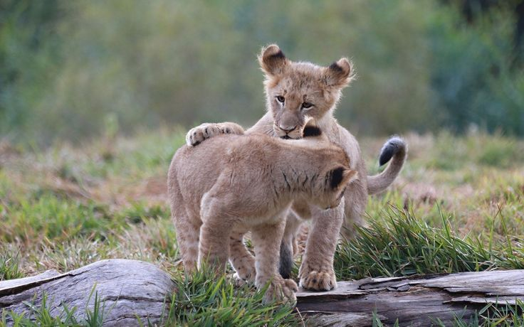Playing lion cubs wallpaper