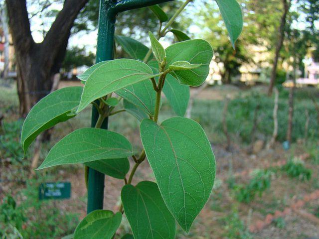 Gymnema sylvestre ist eine Pflanze, die in den Wäldern Asiens (vor allem Indiens) und Afrikas beheimatet ist. Foto: Satheesan.vn at Malayalam Wikipedia [CC BY-SA 3.0 (http://creativecommons.org/licenses/by-sa/3.0)], via Wikimedia Commons