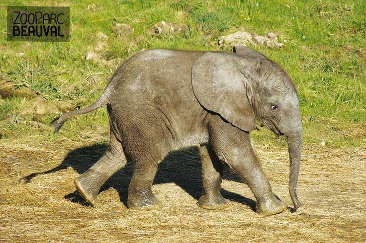 Rungwe, bébé éléphant