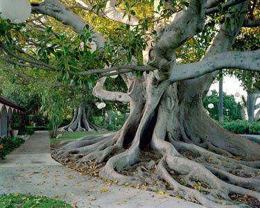 Moreton Bay Fig Tree (Ficu macrophylla) at Rancho Los Alamitos Historic Ranch and Gardens in Long Beach, CA - The Cultural Landscape Foundation -