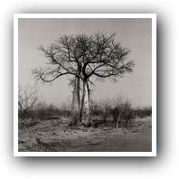 Baobab Tree - Henrietta Van den Bergh
