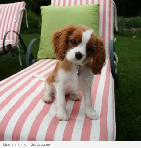 Cavalier King Charles puppy.  I want one of these so badly.