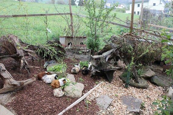 Meerschweinchen Aussengehege, guinea pig outside enclosure ...