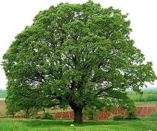 Ağaç Nedir? Meyve verebilen, gövdesi odun veya kereste olmaya elverişli bulunan ve uzun yıllar yaşayabilen bitki. Boyu en az 5 metre , çapı da 10 cm'den aş