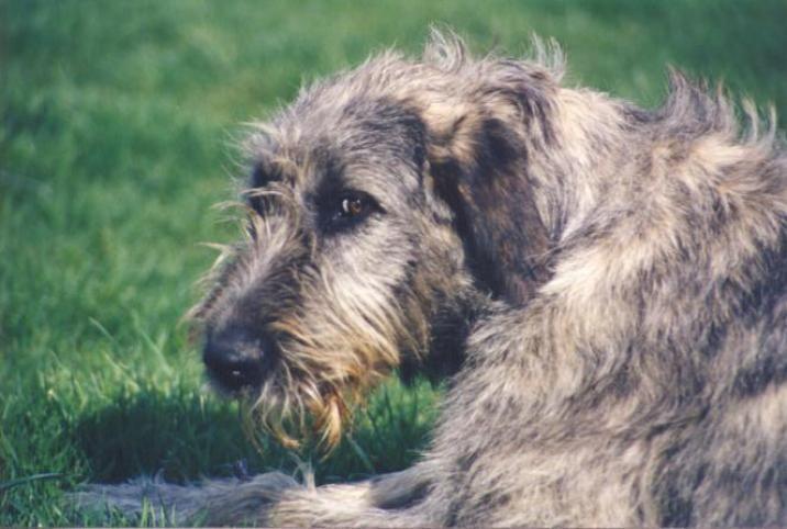 Irish Wolfhound photo | Irish Wolfhound Puppies | Dog & Puppy Site