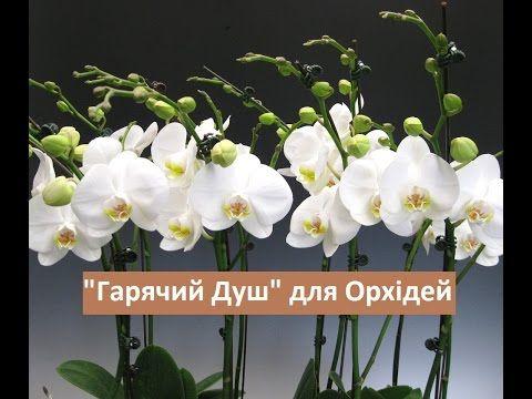 Як пересаджувати орхідею