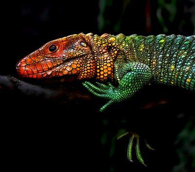 Herpy: Northern Caiman Lizard