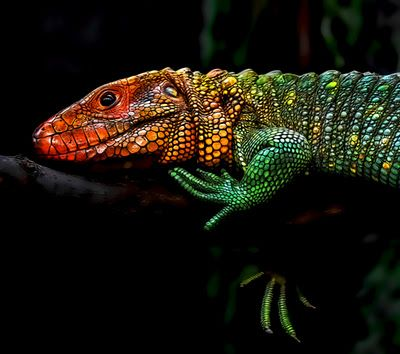 The caiman lizard is a medium sized species of lizard, natively found in the jungles of South America. The caiman lizard is powerfully built and is one of the largest lizard species on the American continent.