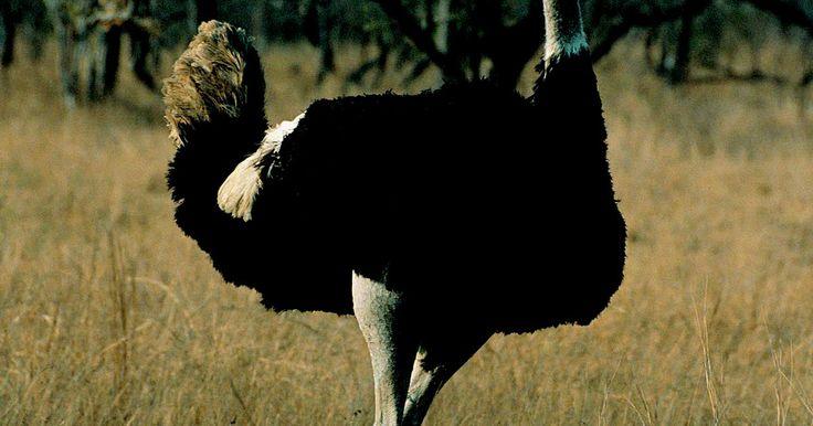 Características de los huevos de avestruz y de gallina. Las avestruces no solamente se han vuelto un manjar en los últimos años, sino que se ha demostrado que su carne es significativamente más baja en grasa que la del pollo y otras carnes y se considera una opción de comida sana. Aunque los filetes de avestruz y otros productos cárnicos están ampliamente disponibles, los huevos de avestruz no poseen ...