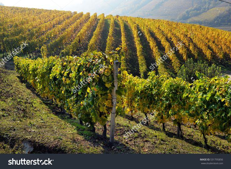 panorama of autumn vineyards in Italy, Piedmont