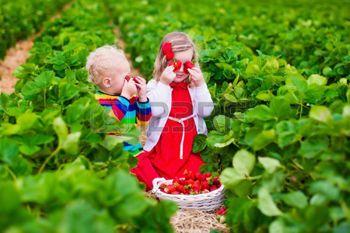 Enfants cueillir des fraises. Enfants cueillette des fruits � la ferme de fraises bio. Enfants de jardinage et de la r�colte. enfant en bas �ge et le b�b� manger sain baies m�res. Outdoor fun d'�t� de la famille dans le pays. photo