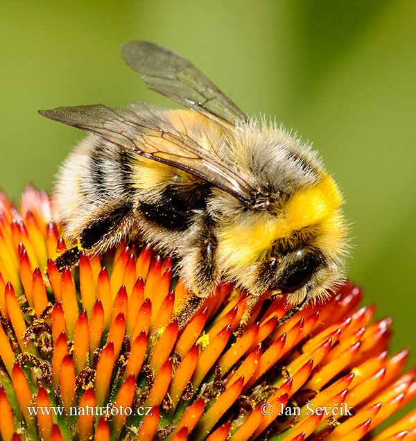 Bumble-bee Pictures, Bumble-bee Images | NaturePhoto