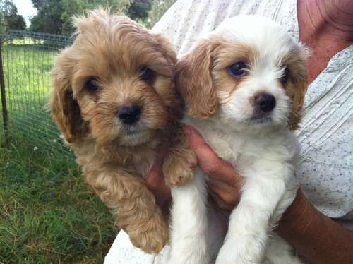 cavoodle puppies, adorable teddies. Mum is miniature