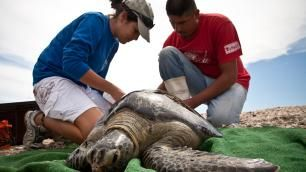 Gray Whale and Sea Turtle Conservation Adventure | Global Volunteer Services / Work | Study Abroad Volunteer Programs