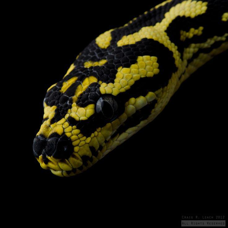 Jungle Carpet Pythons Australia - Carpet Vidalondon