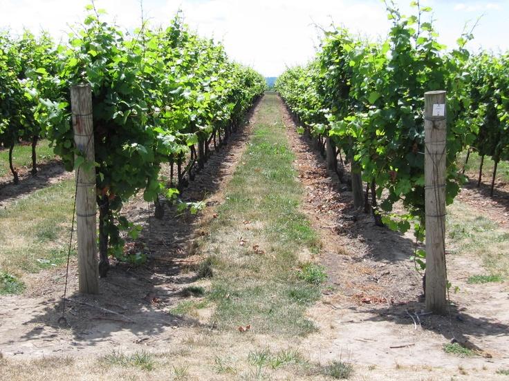 rows of grapevines at vineyard