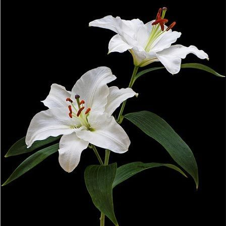 Stargazer lily symbolizes sympathy and is associated with majesty and purity and it was the symbol of Mother Mary's purity and chastity. While the leaves symbolize her modesty, the white petal represents her innocence and purity. Peruvian lilies represent friendship and devotion while pink lilies represent wealth and prosperity. These beautiful flowers always bring peace to the receivers mind.