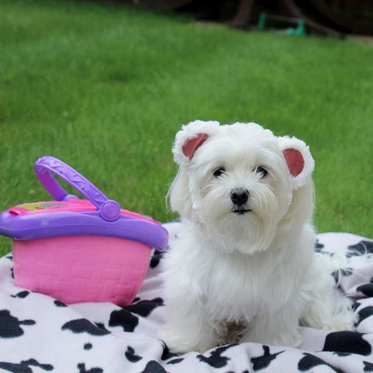 Today S The Day This Teddy Bear Has His Picnic Follow Maltese Dog Love For More Have You Smiled Yet Maltese Dogs Maltese Puppy Dog Love
