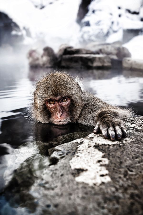 Japanese Macaque, only the high born are allowed in the hot springs, the rest have to struggle in the snow