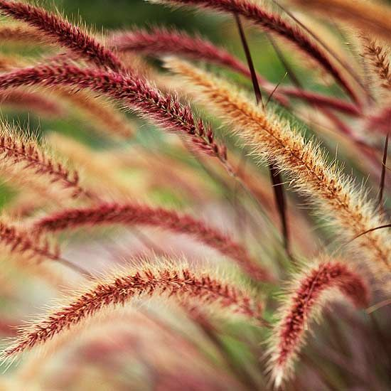 Purple Fountain Grass    A favorite of gardeners everywhere because of its burgundy-red foliage all season long, this tender perennial is often used in container gardens.  Growing Conditions: Full sun and well-drained soil    Size: To 3 feet tall