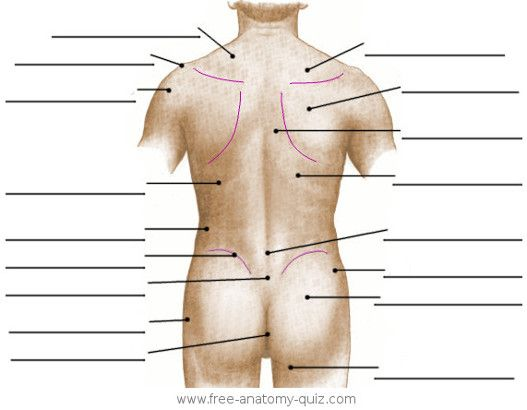 Surface Anatomy Torso Diagram Find Wiring Diagram