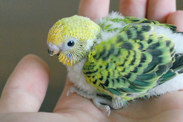 baby budgie 19 days old