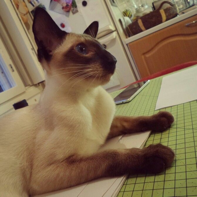 https://www.facebook.com/Onnikissasta  #Onni #siamese #cat #kissa #siamilainen